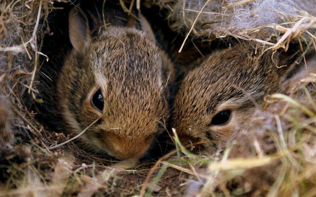 Hot Roddin' Rabbits: a Rehabber's Tale